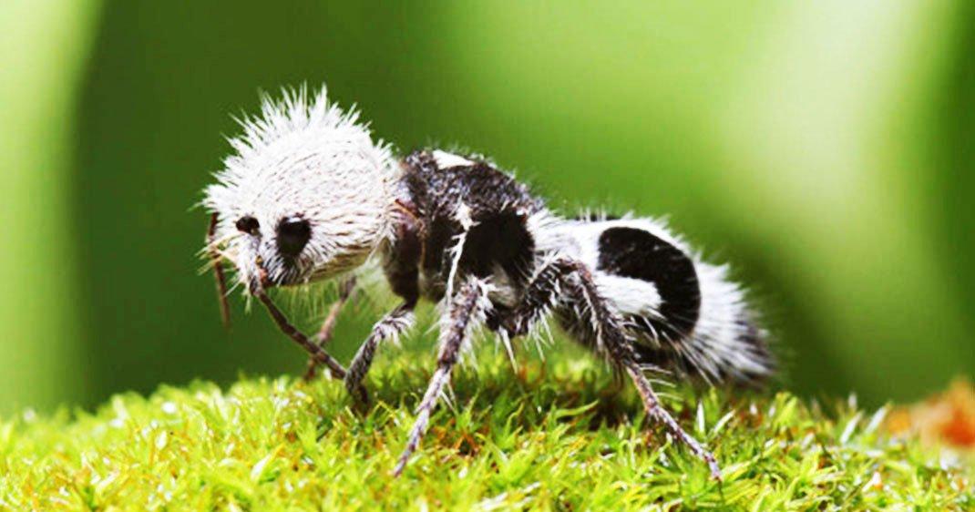 d couvrez la fourmi panda cet adorable insecte chilien la piq re extr mement douloureuse. Black Bedroom Furniture Sets. Home Design Ideas