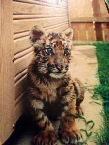 1-bebe-tigre