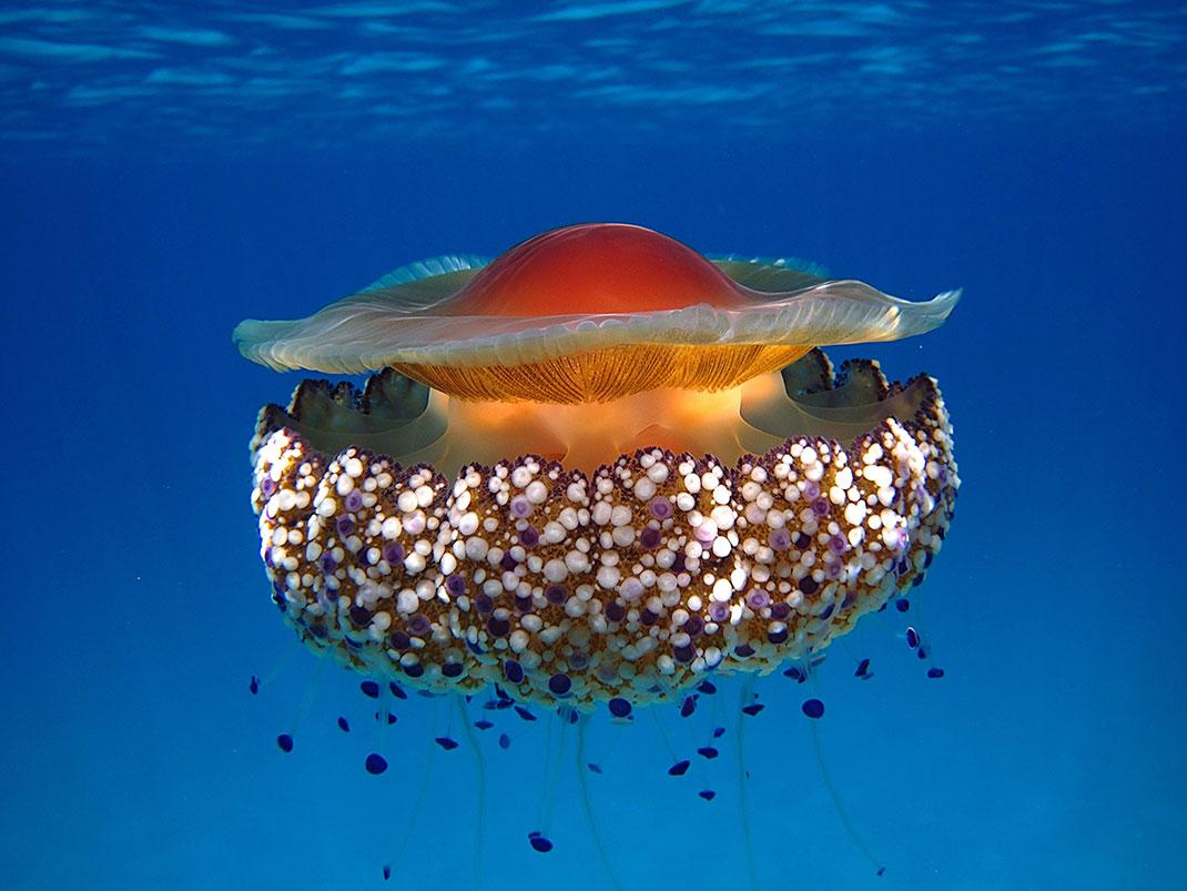 10-meduse-oeuf