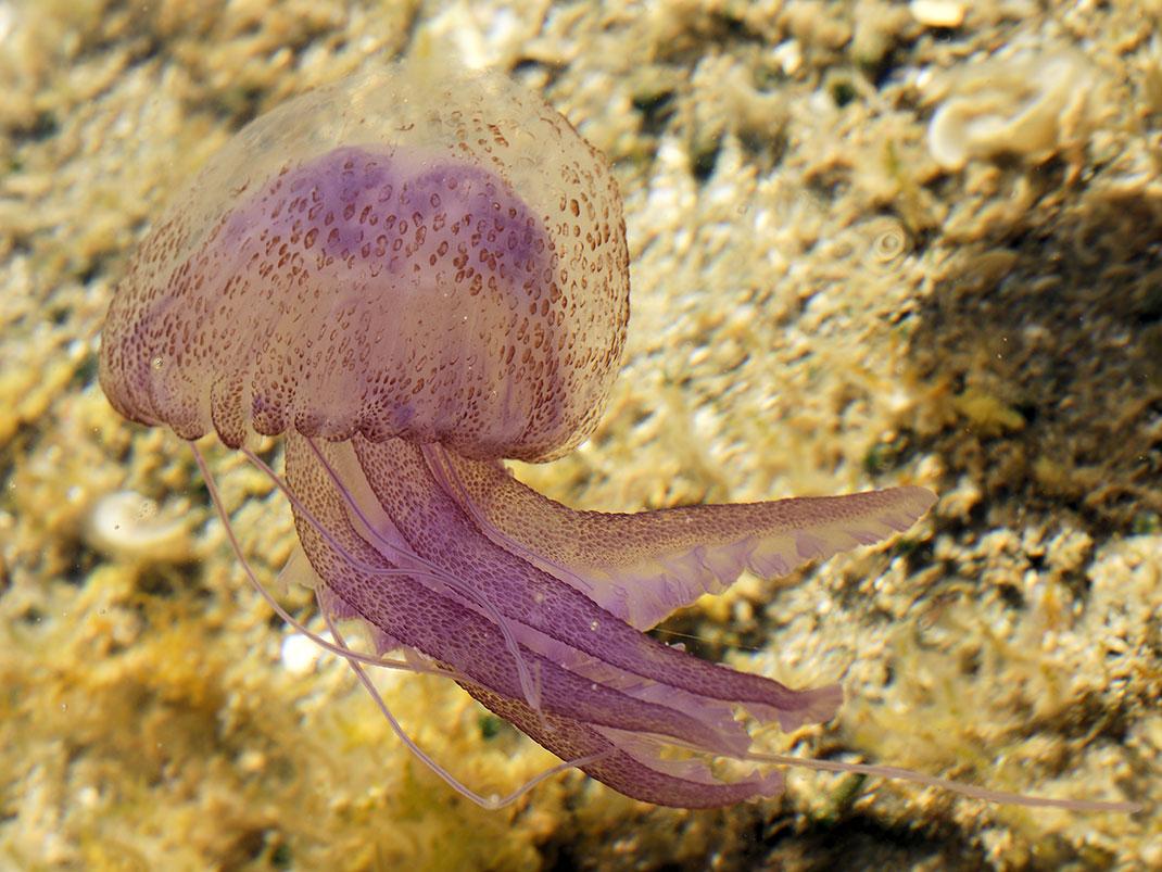 13-meduse-mauve