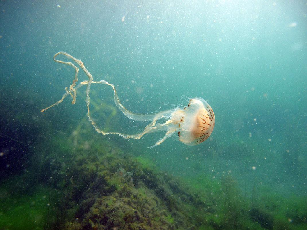 14-meduse-rayonnee