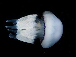 17-meduse-ronde