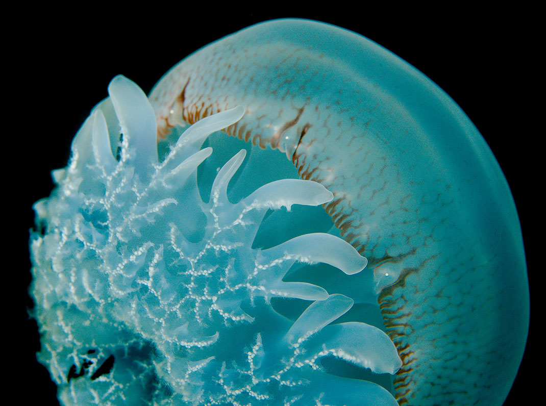 2-meduse-boule