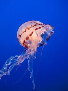 3-meduse-violette