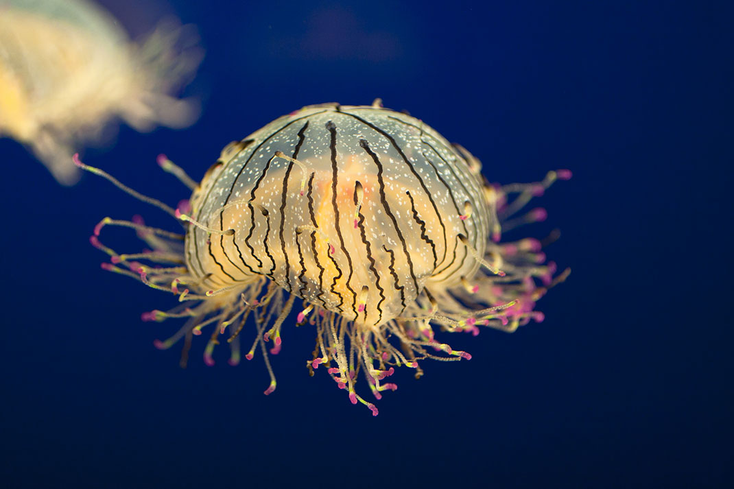 5-meduse-fleur