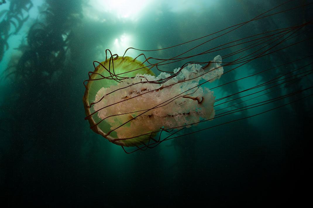 8-meduse-criniere