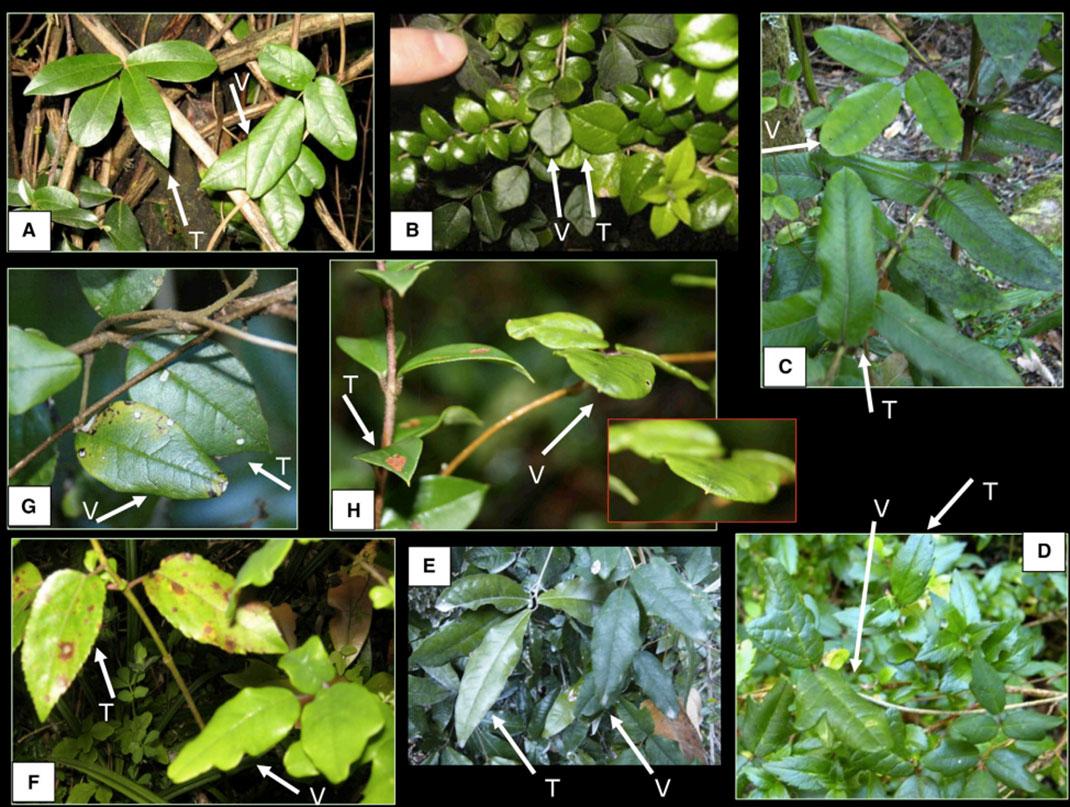 V = une feuille de Boquila trifoliolata, T = une feuille de la plante copiée