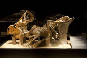Fossile-protoceratops