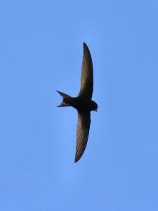 Martinet-noir