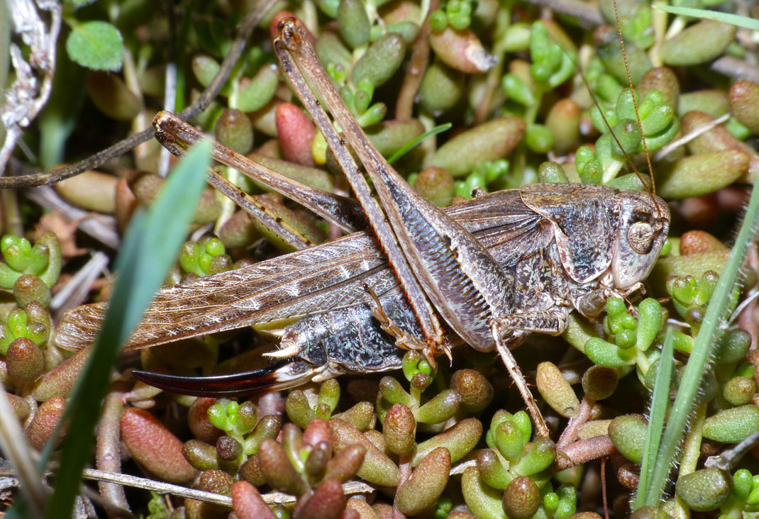 Tuberous_Bush_Cricket