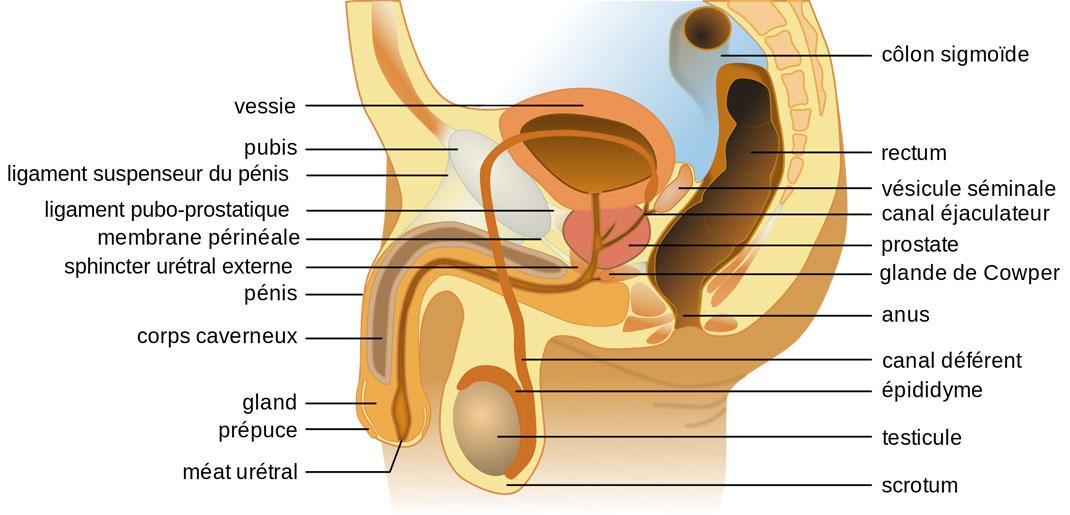 anatomie-homme