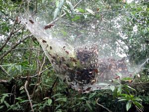 araignees-colonie-sociable-8