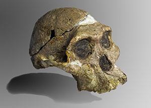 Le squelette d'un australopithecus africanus