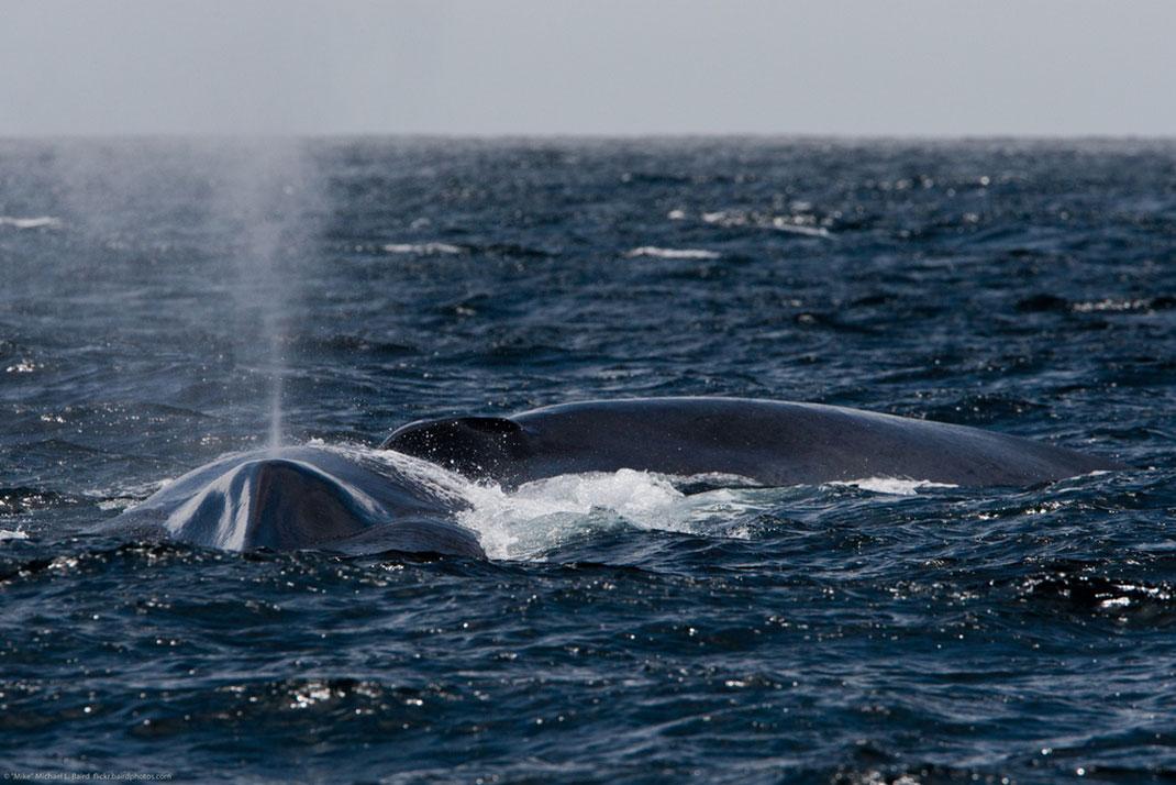 baleine-bleue-15