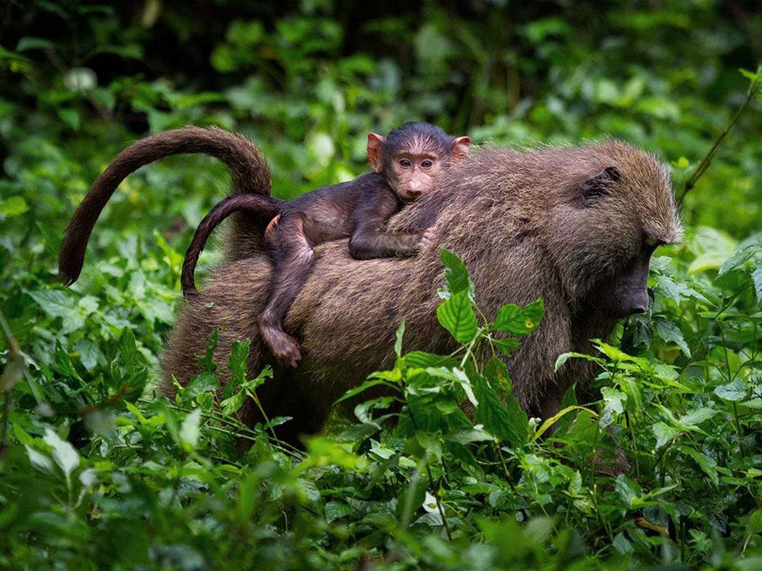 bebe-babouin