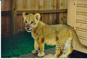 bebe-lion-2