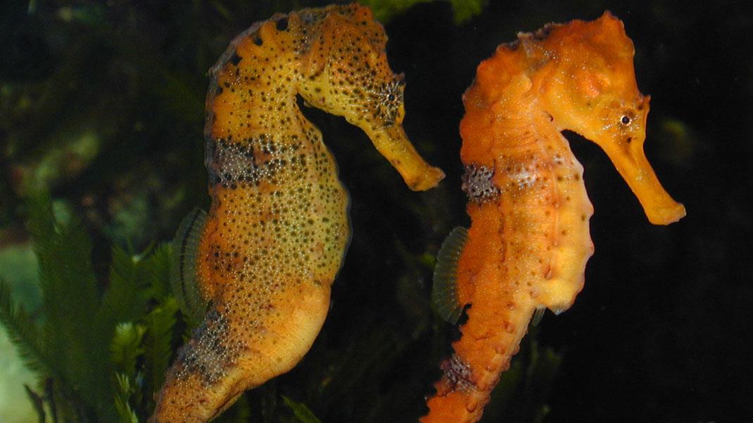 hippocampus-reidi