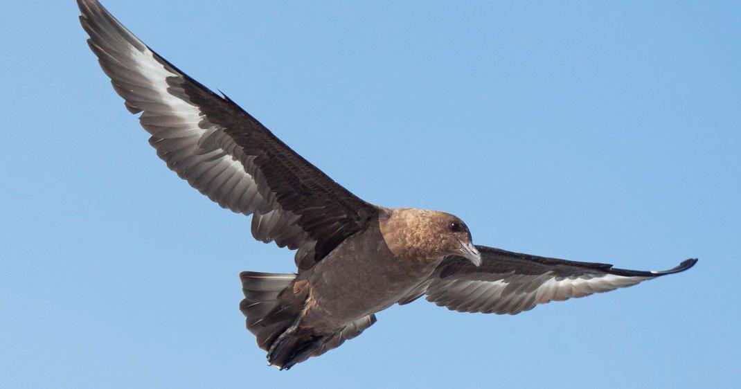 labbe-antarctique-oiseau-une