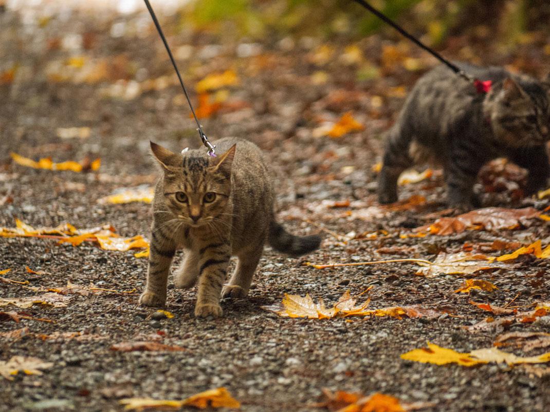 chats-laisse