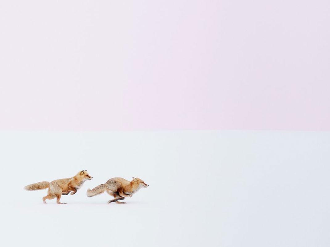 renards-course-neige-1