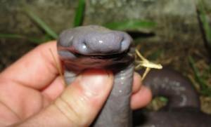 serpent-penis-amphibien-1