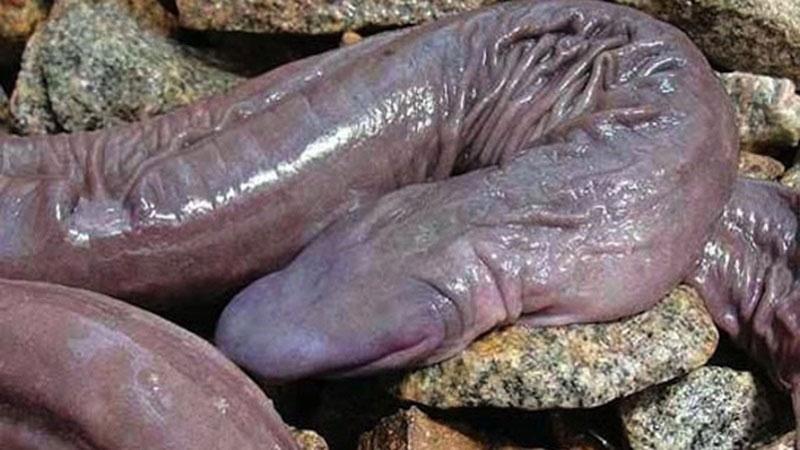 serpent-penis-amphibien-3