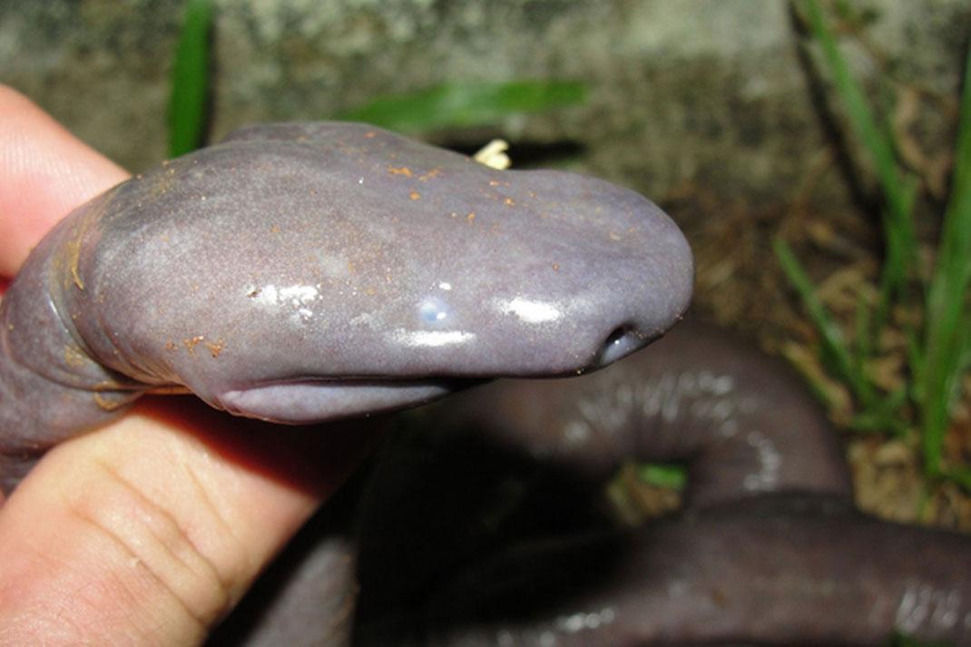 serpent-penis-amphibien-4
