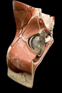 15-modele-anatomique-papier-mache