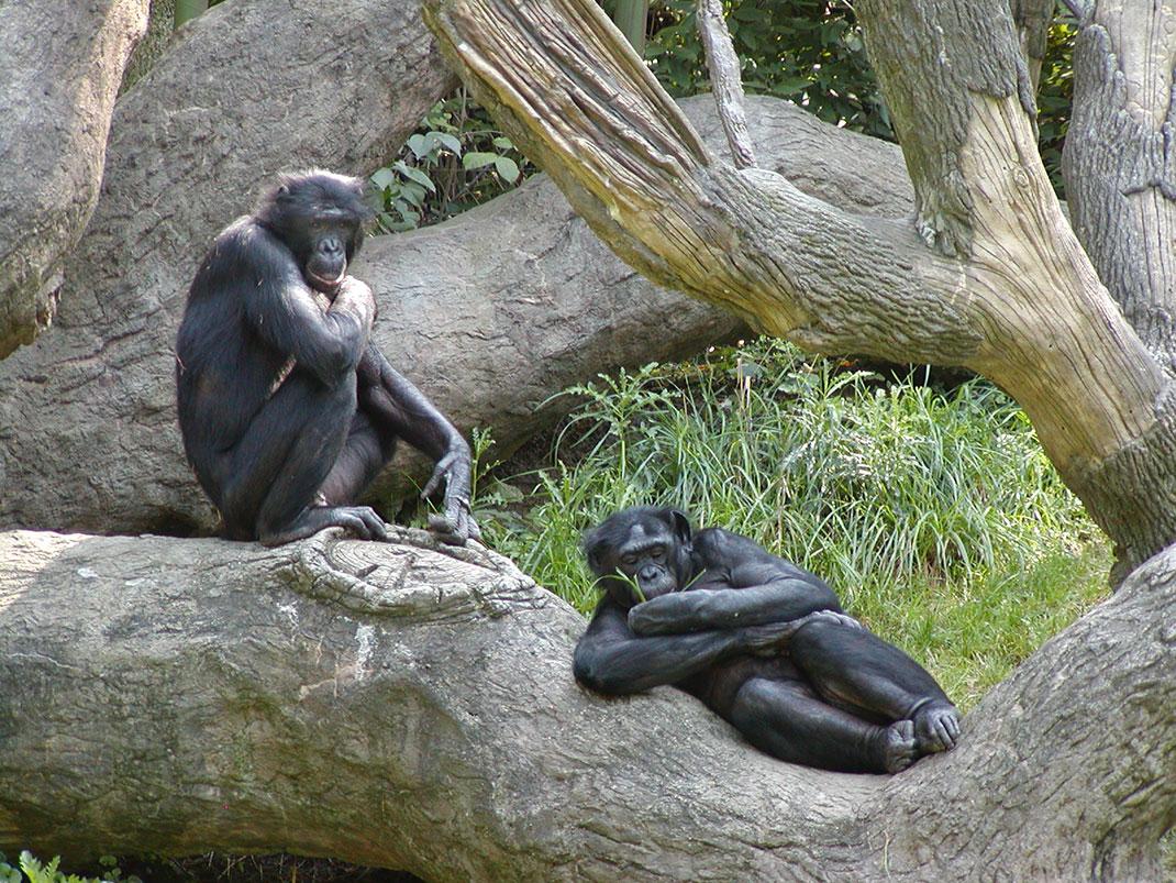 Bonobos-singes-primates-5