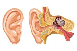 Le canal auditif humain via Shutterstock