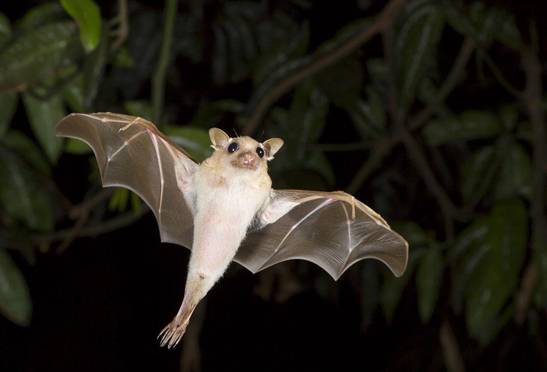 Une chauve-souris via Shutterstock