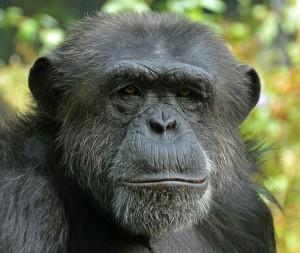 Chimpanzé_commun-singe-9