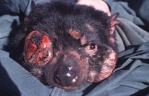 """Un diable de Tasmanie atteint de """"Devil facial tumour decease"""""""