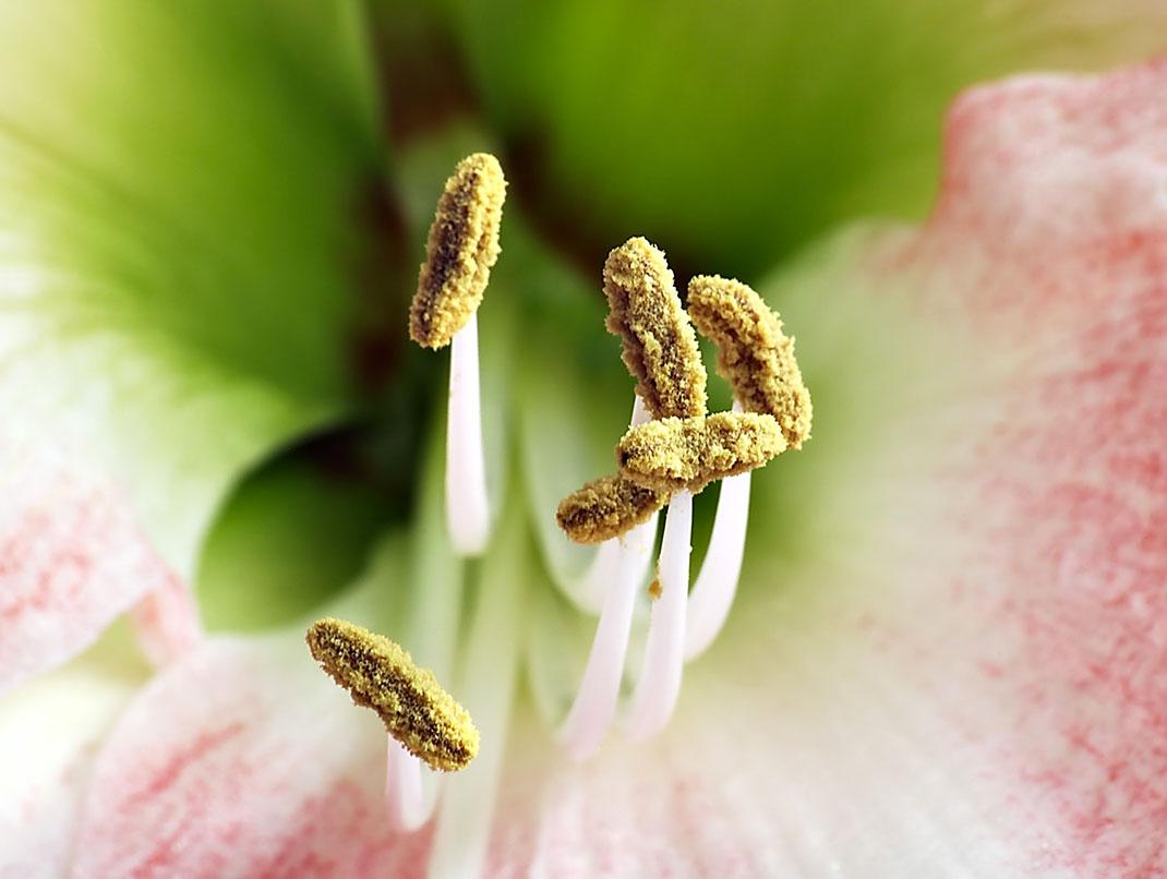 Etamines-amaryllis