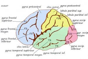 Schéma d'un cerveau