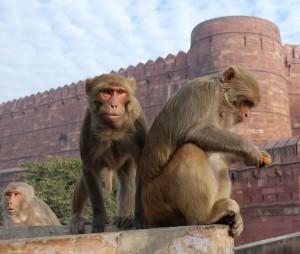 Macaque_rhésus_26