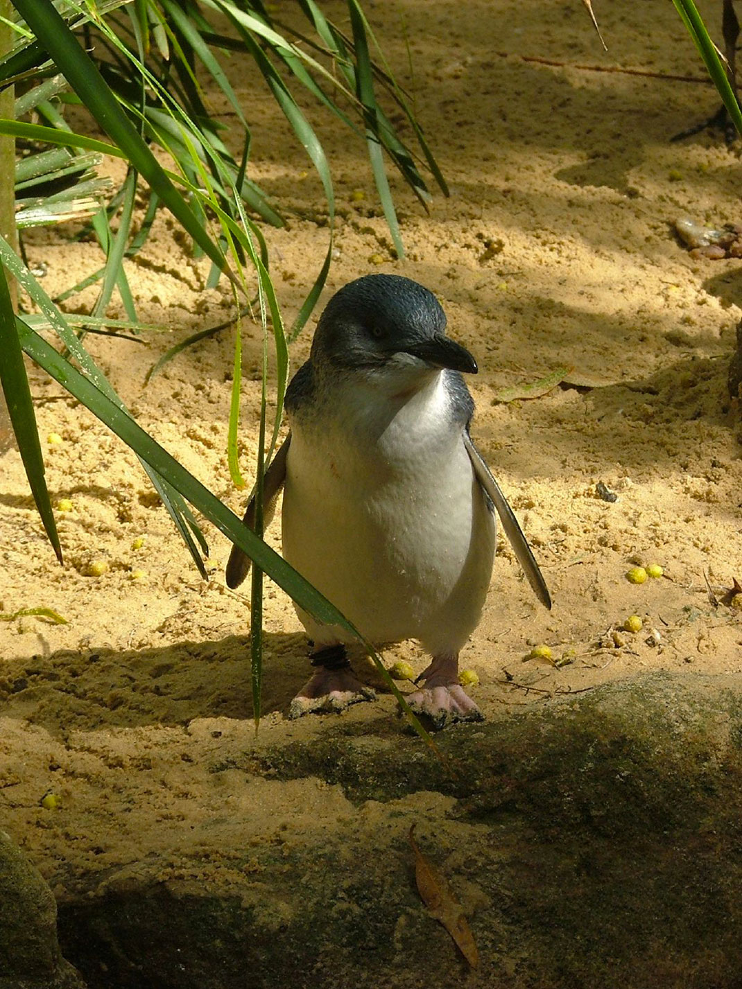 Manchot-pygmée