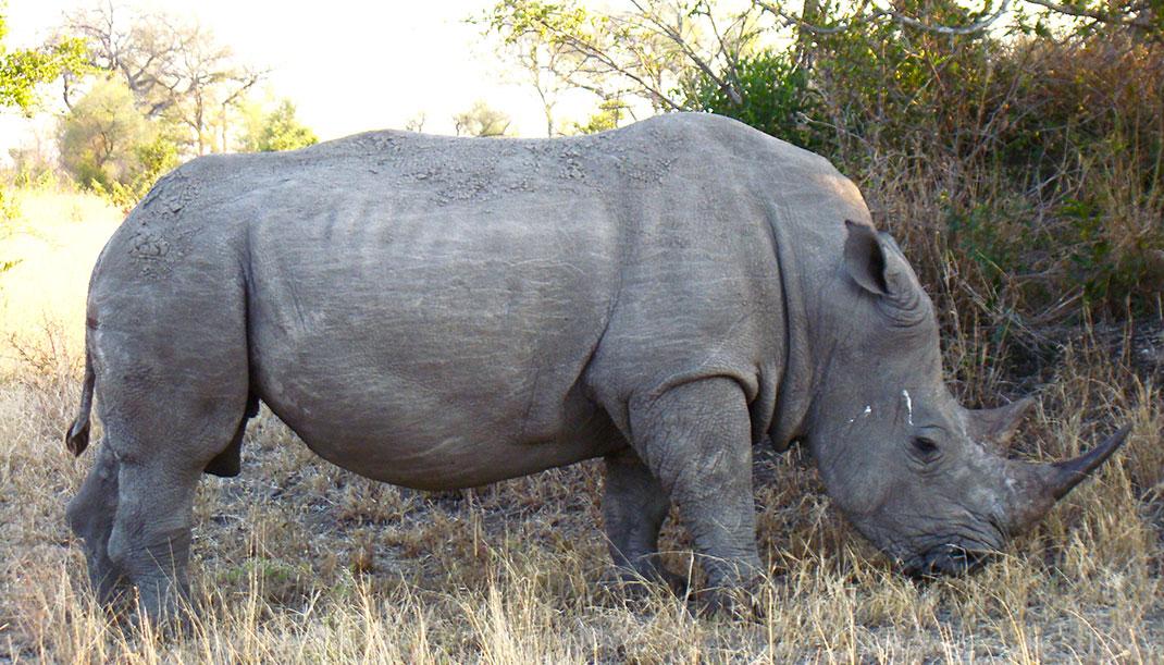 Rhino-2-