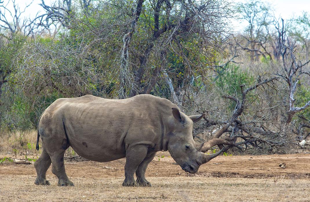 Un rhinocéros via Shutterstock