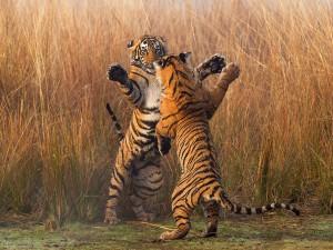 Tigre-Bengale
