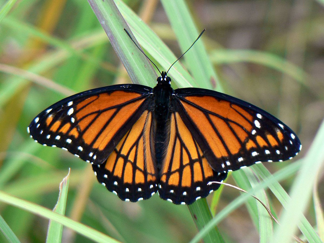 Vice-roi-papillon-18