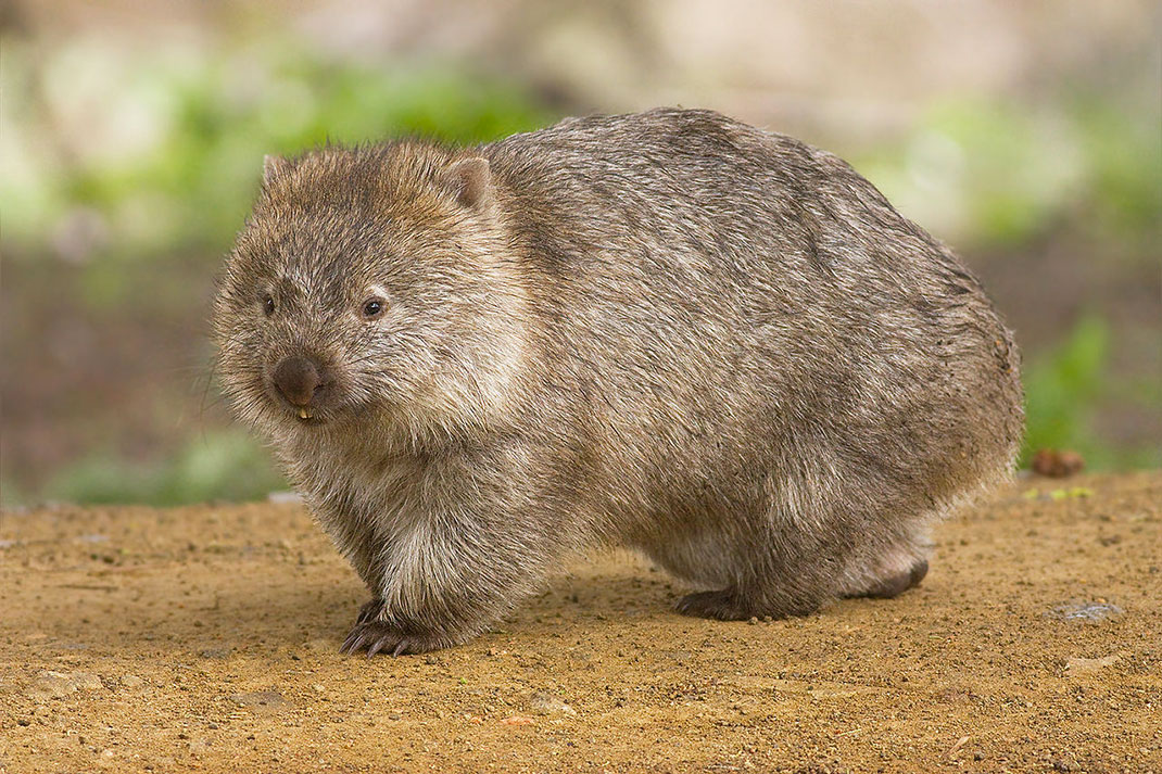 Un wombat