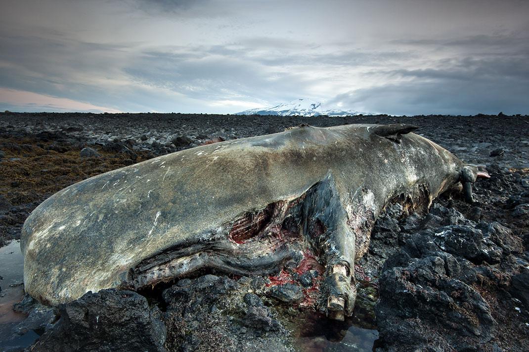 baleine-morte