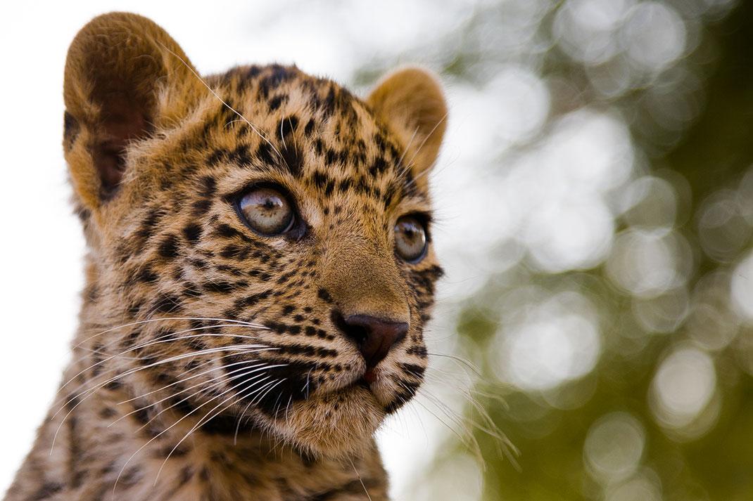 bebe-leopard