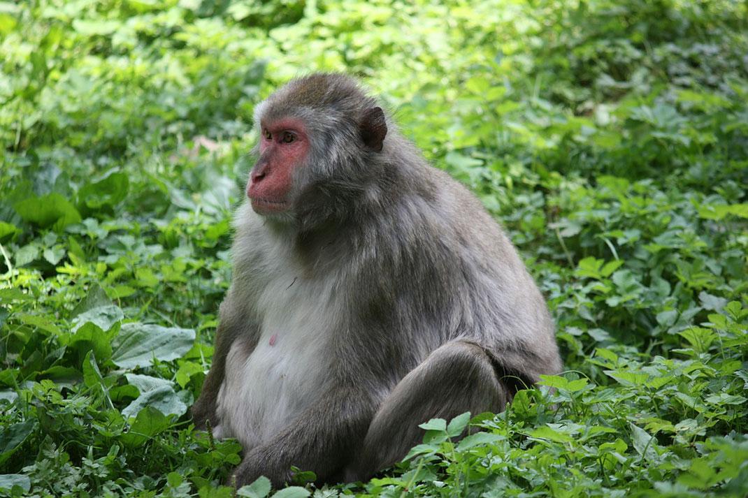 bonobo-singe-primate-3