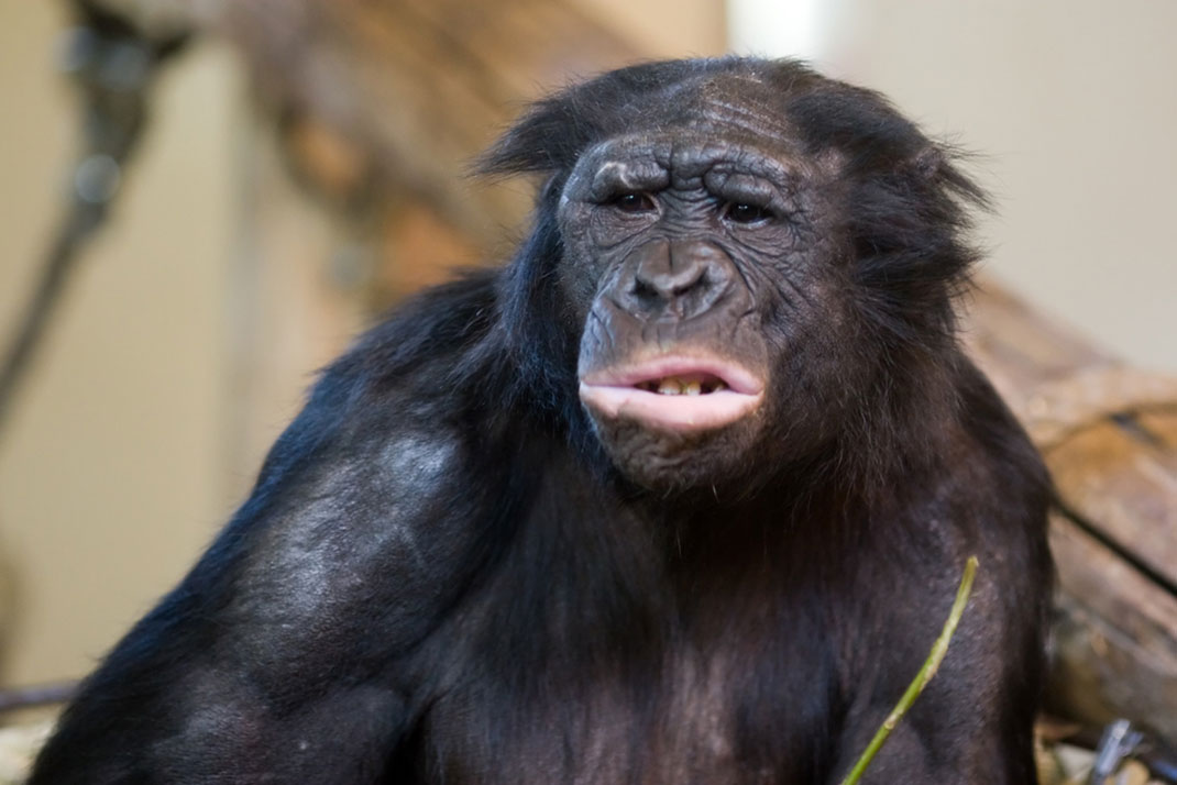 bonobo-singe-primate-7