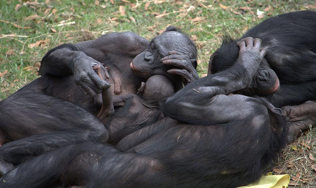 bonobos-comportement-social-2
