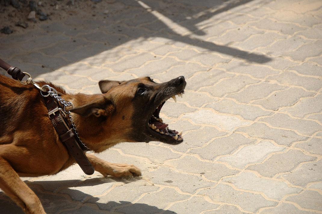 chien-méchant-8