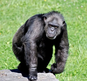 chimpanze-mechant-19