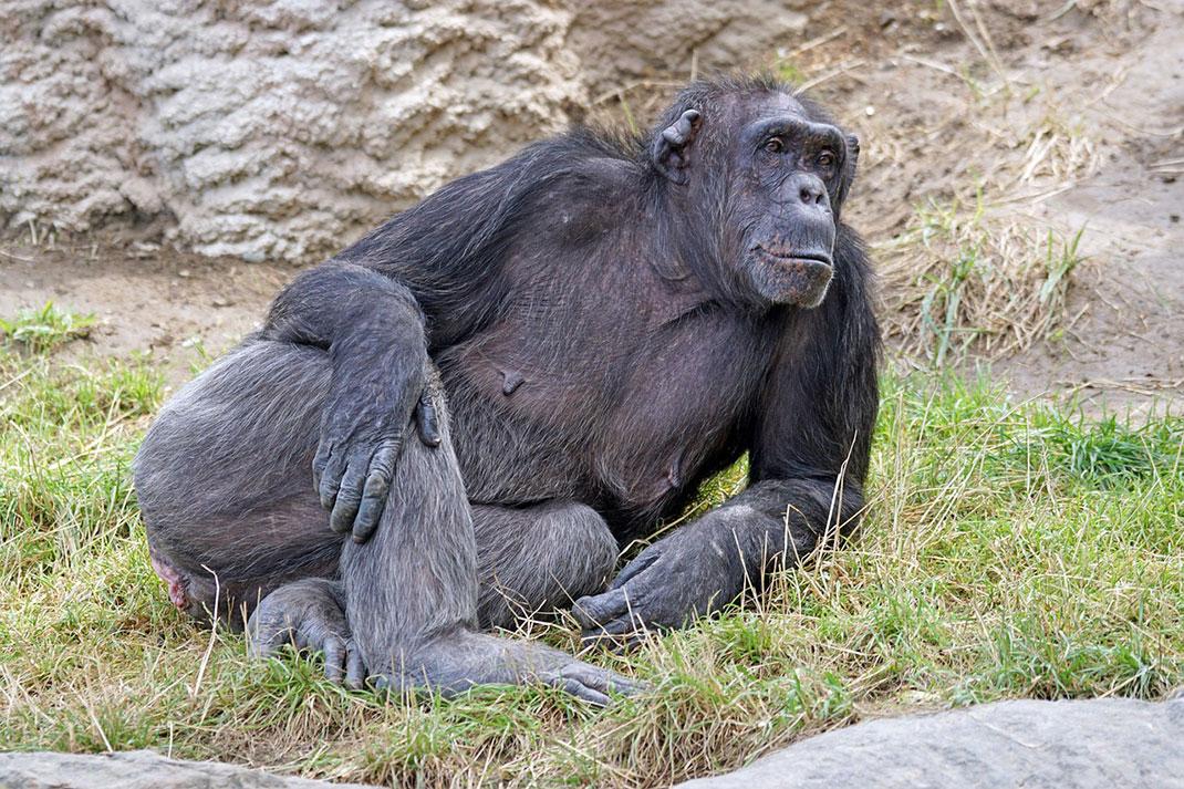 chimpanze-mechant-dangereux-27